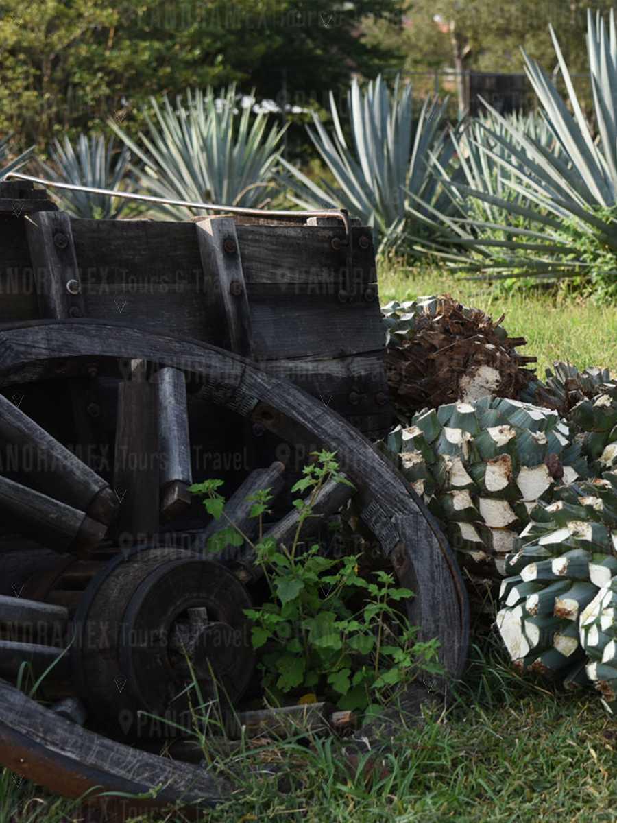 tequila express casa sauza piñas de agave azul